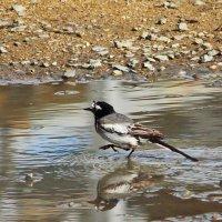 Из жизни птиц. Водные процедуры. :: TATYANA PODYMA