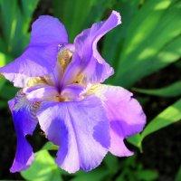 Ирис - цветок богини Ириды. :: Валентина ツ ღ✿ღ