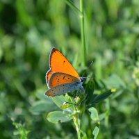 Голубянка, оранжево-огненный Червонец... :: *MIRA* **