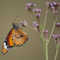 Оранжевая бабочка :: Ольга Гурьянова