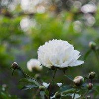 Летние цветы :: Дмитрий Скубаков