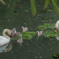 лебединная семья :: Svetlana AS