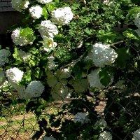 В чужом саду. :: Sergey Serebrykov