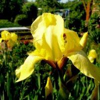 Ирис жёлтый, болотный :: Лебедев Виктор