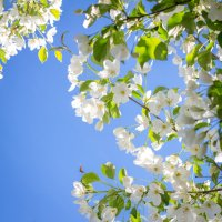 яблоньки цветут :: Анна Шелест