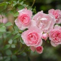 Розовые розы. :: Тамара Листопад