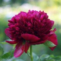 Цветы июня. Пион :: lady-viola2014 -