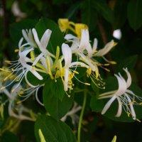 Цветы из моего сада :: Наталья Петракова