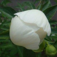 Рождение белого  пиона :: Нина Корешкова
