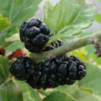 Тута, или шелковица-черная :: Gudret Aghayev