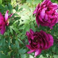 И лепестки их нежно треплет ветер, ах, нет цветов чудеснее на свете! :: Елена Павлова (Смолова)