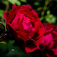 Роза :: Ярослав Казаченко