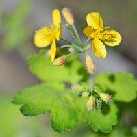 Чистотел цветёт :: Алёна Михеева