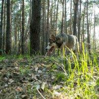 Волчья тропа :: Анна Плотникова