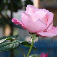 roze :: Александр Rehc