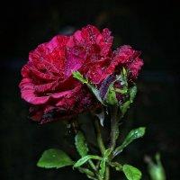 Королева ночного розария :: Виктор Масальский