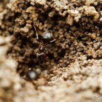 муравей :: Андрей Иванов