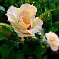 ..рождение  розы.... :: неля  тулузова