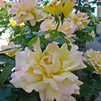 Пора цветения роз наступила!!!! :: Galina Dzubina