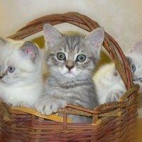 Наши котята :: Ирина Рассветная