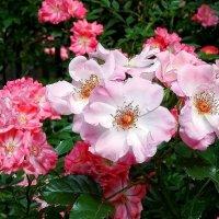 Розы из Выдубицкого монастыря Фото №1 :: Владимир Бровко