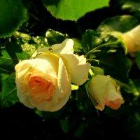 мои  розы :: неля  тулузова