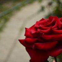Роза :: Denis Karpiets