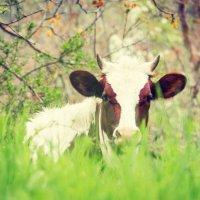 Ученая корова :: Zifa Dimitrieva