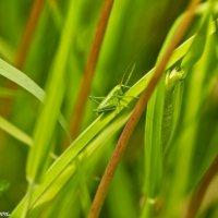В траве сидел кузнечик... :: Виктор Евстратов