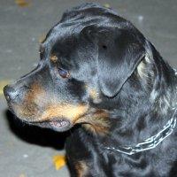 Собака причиняет боль хозяину только один раз в жизни.... Когда умирает...... :: Валентина ツ ღ✿ღ