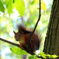 Белочка в Центральном парке города Тулы :: Leo