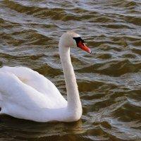 Лебедь :: Андрей Николаевич Незнанов