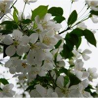 Яблони в цвету :: Владимир Виноградов