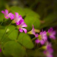 Цветики лесные... :: Ирина Рассветная