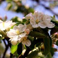 Яблони в цвету :: Наталья Серегина