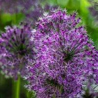 Летние цветы :: Алёнка Шапран