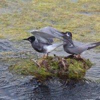 Чёрные крачки на гнезде. :: Павел