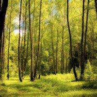 Солнечный лес :: Юрий