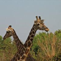 Жирафы :: максим лыков