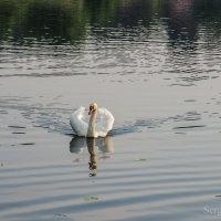 Одинокий лебедь :: Сергей Хомич