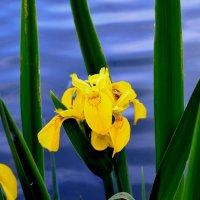 Цветы на берегу озера :: Милешкин Владимир Алексеевич