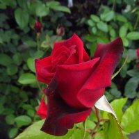 Роза :: Андрей Лукьянов