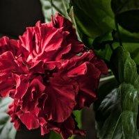 Китайская роза :: Михаил Вандич