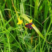 Черная бабочка :: Николай Николенко