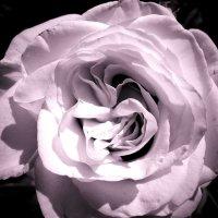 Белая роза :: Виктория Власова