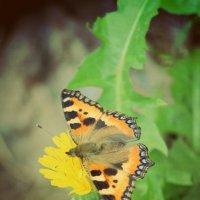 Бабочка :: Светлана Бабенкова