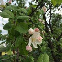 яблоня в цвету :: Алексей Васильев