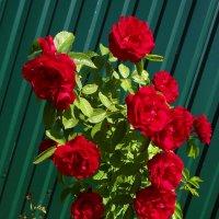 Кустик роз. :: Антонина Гугаева