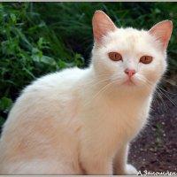 Белый котэ :: Андрей Заломленков