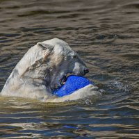 Фрам -полярный медведь :: Shapiro Svetlana